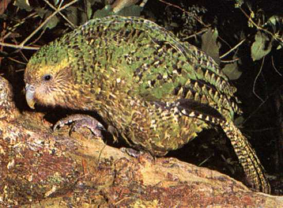 kakapo- noua zeelanda